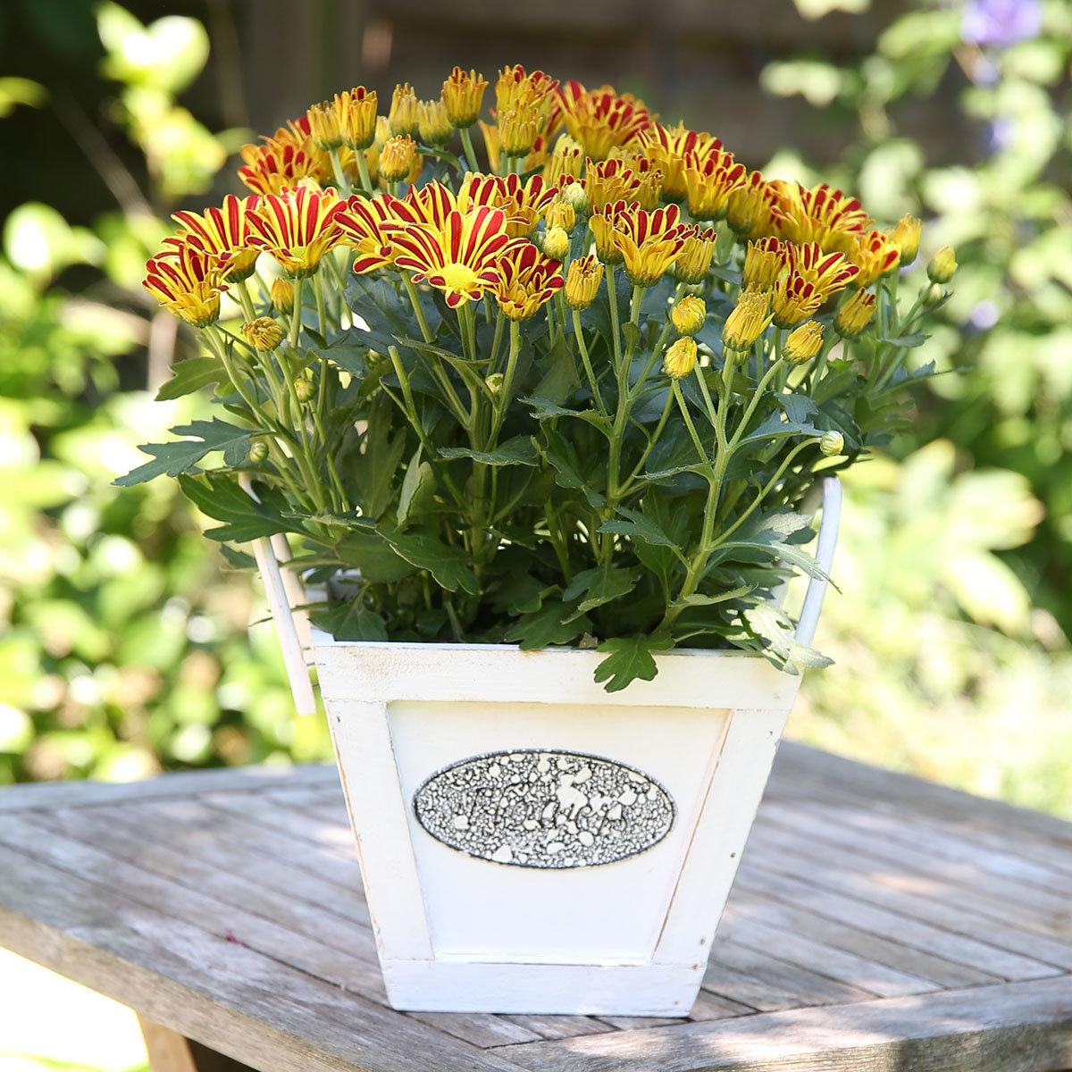 Gelbe Chrysantheme Melodie Vulcano