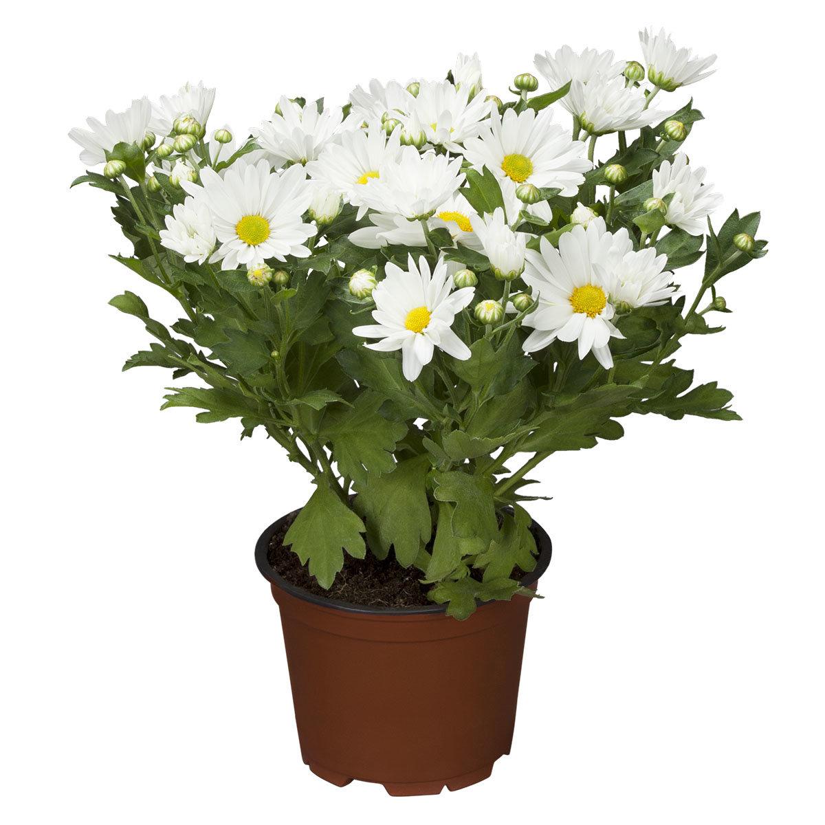 Herbst-Chrysantheme, weiß