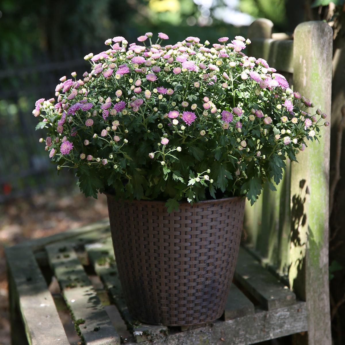 Herbst-Chrysantheme, Busch, violett