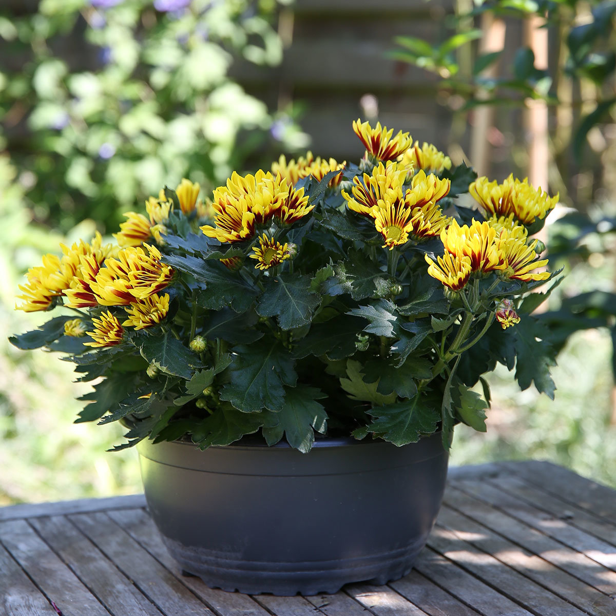 Gelbe Chrysantheme Melodie Sawadee Schale