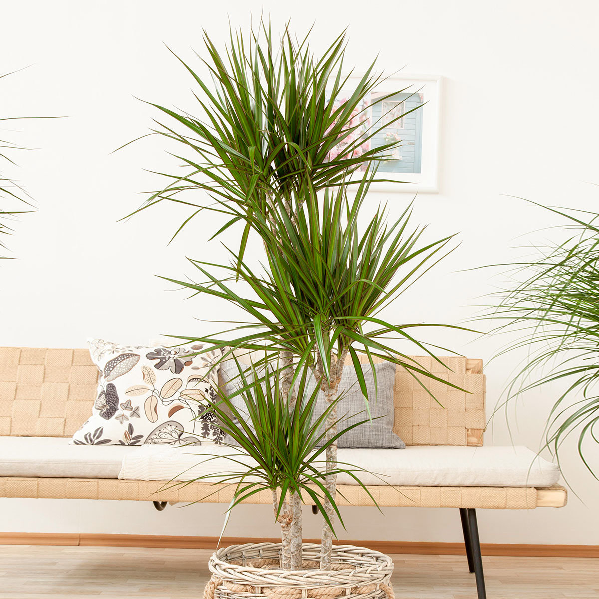 Drachenbaum Marginata, 3er Tuff, im ca. 24 cm-Topf