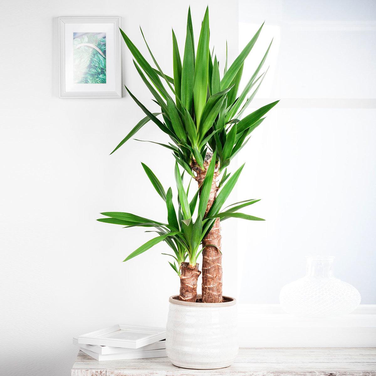 Riesen palmlilie 2er tuff online kaufen bei g rtner p tschke - Zimmerpflanzen sonniger standort ...