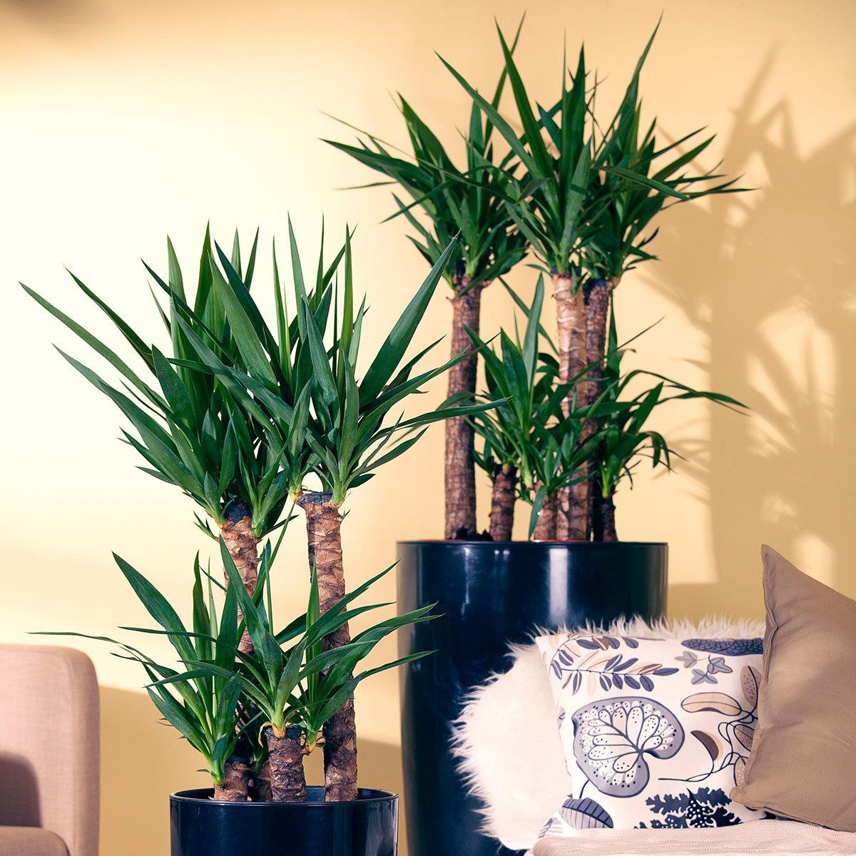 Riesen Palmlilie 3er Tuff