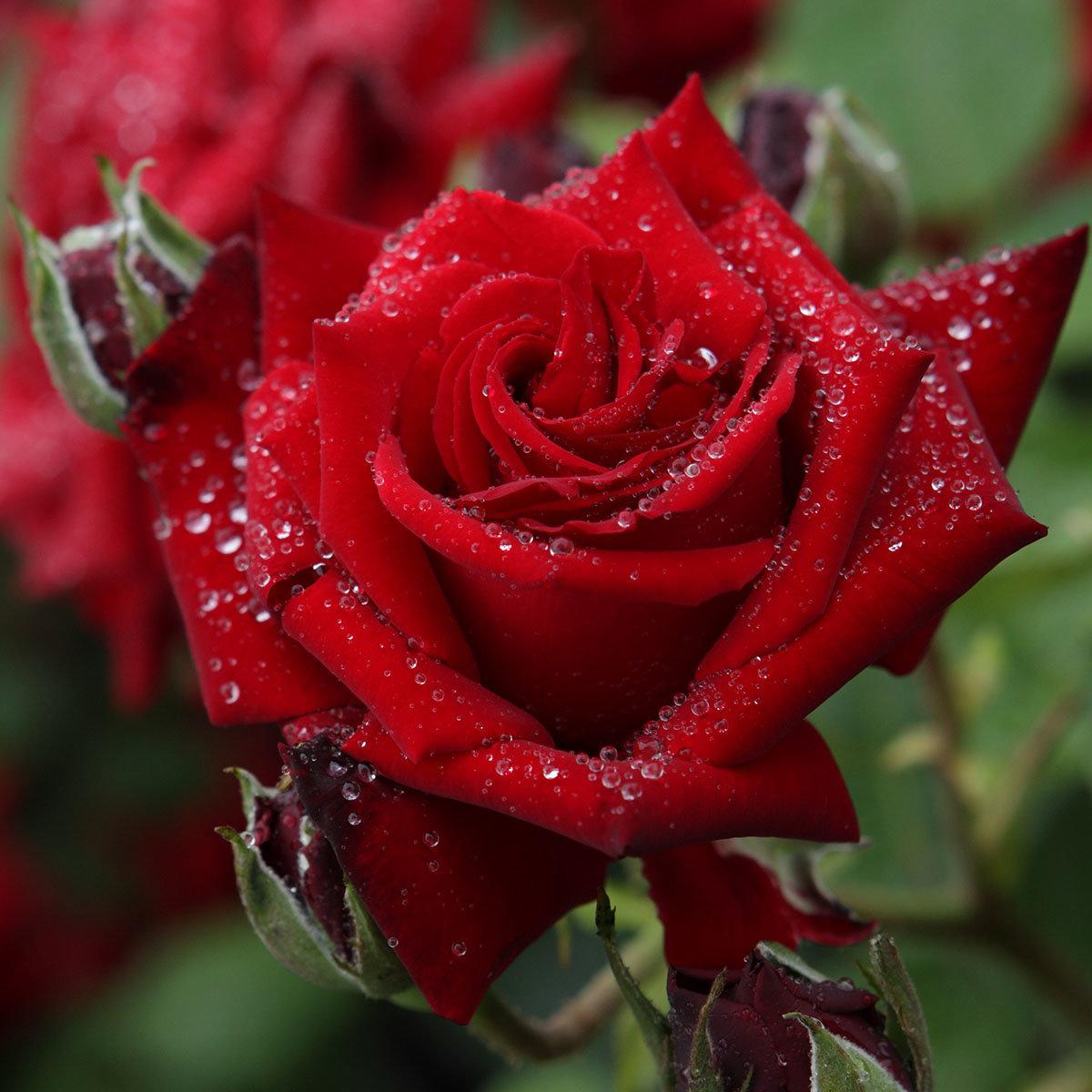 rose ingrid bergmann im 5 liter topf online kaufen bei g rtner p tschke. Black Bedroom Furniture Sets. Home Design Ideas