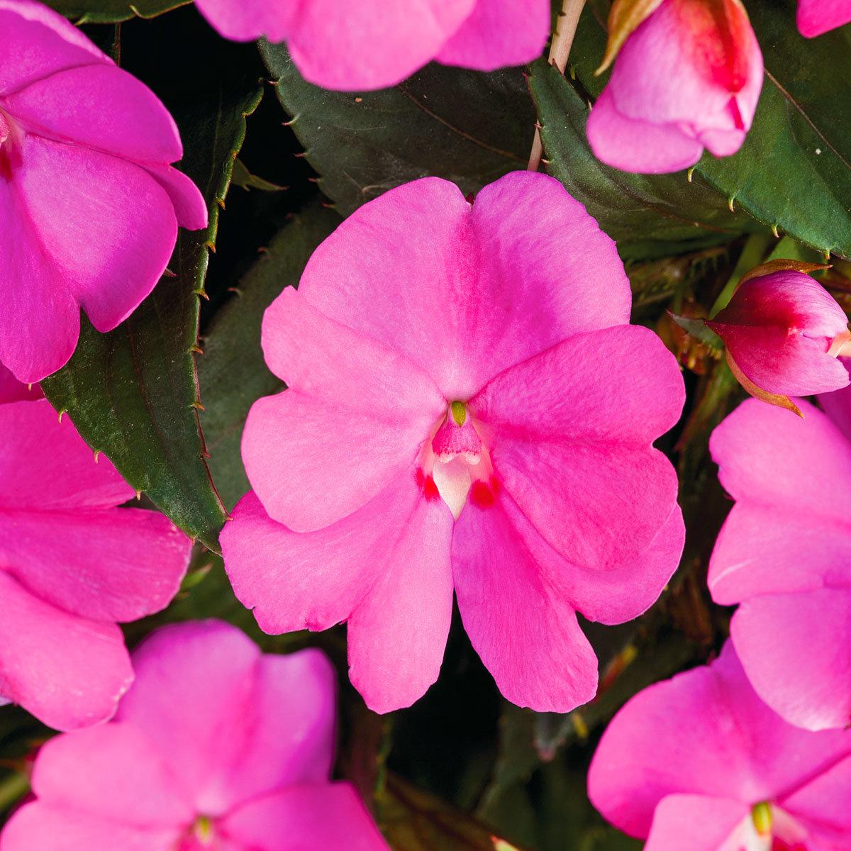 Edellieschen, lila, im ca. 12 cm-Topf