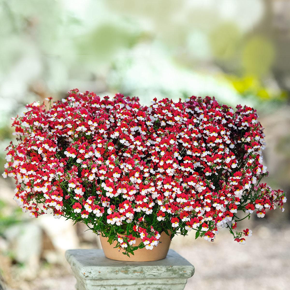 Elfenspiegel Sunsatia Cherry on Ice, im ca. 11 cm-Topf