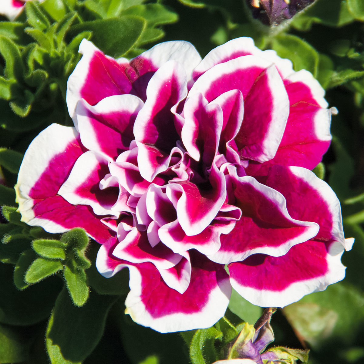 Rosen-Petunie Sweet Sunshine, im ca. 12 cm-Topf