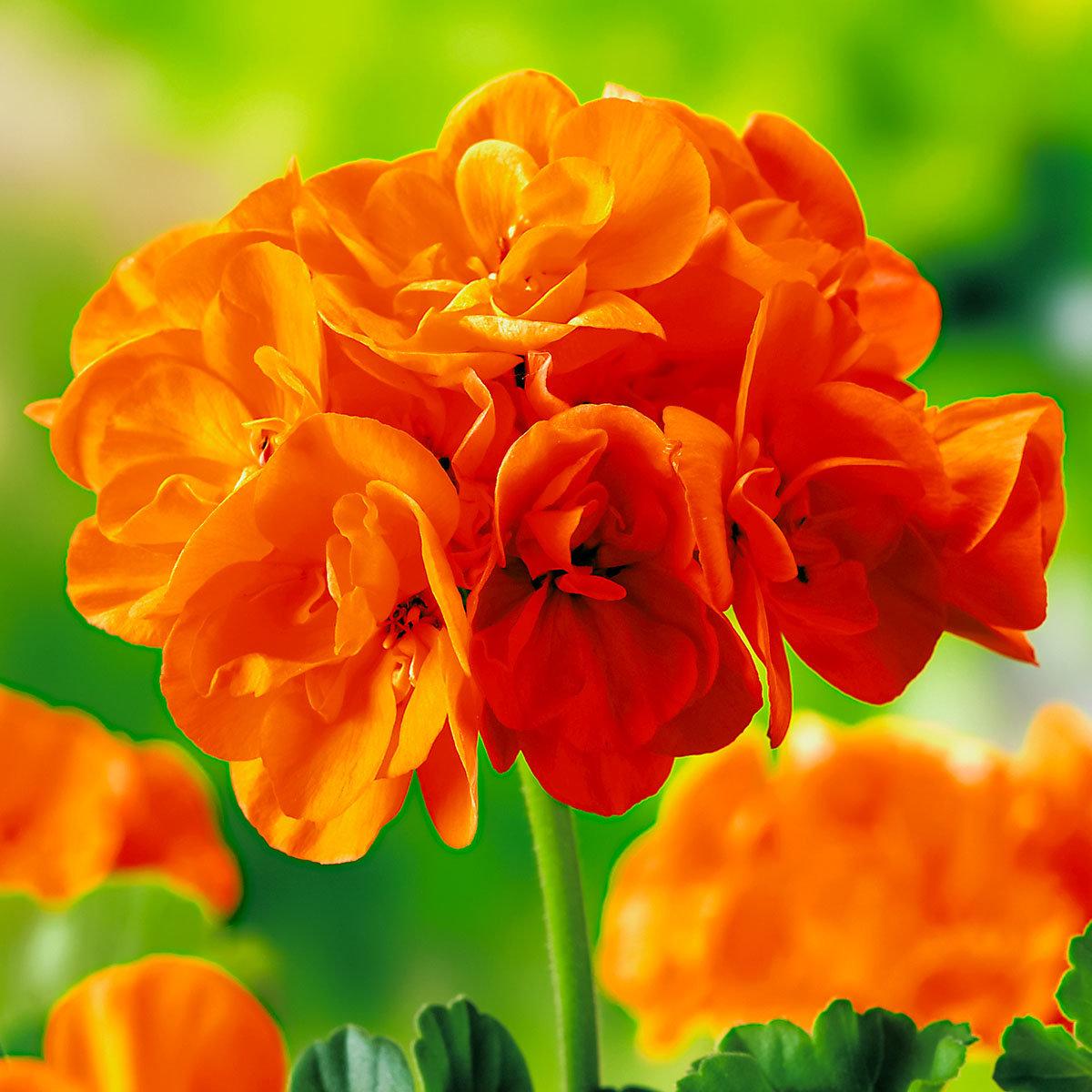 Geranie, orange-rot, im ca. 12 cm-Topf