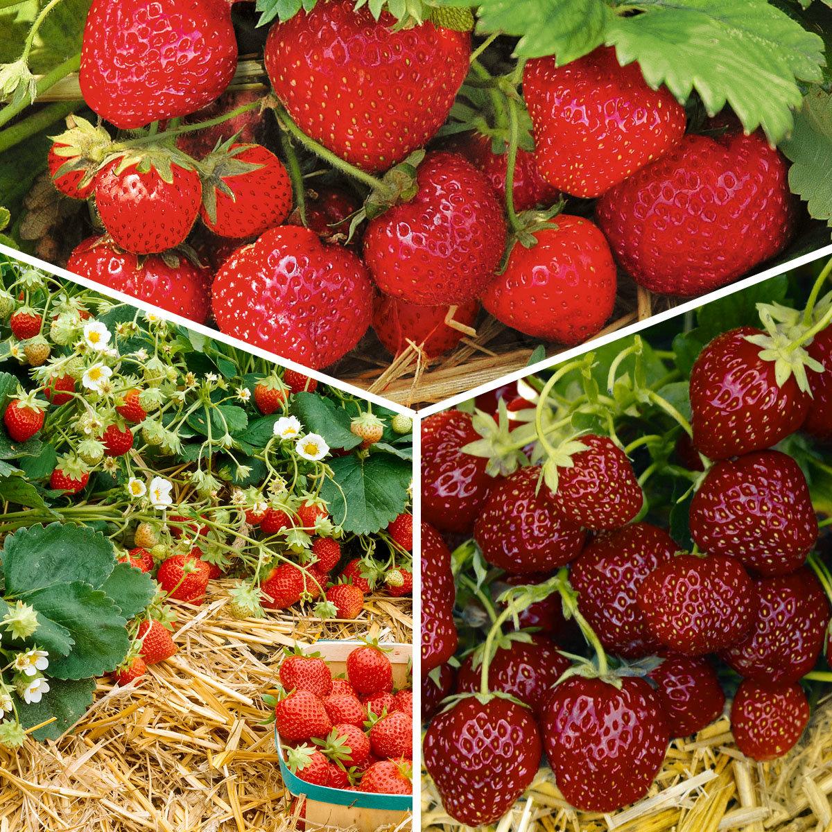 Set Erdbeer-Auslese, im ca. 9 cm-Topf