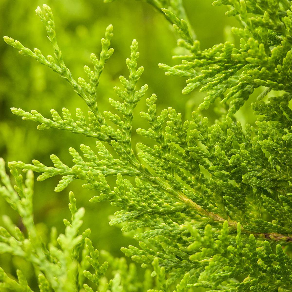 Premium Lebensbaum Brabant, Höhe ca. 100-120 cm