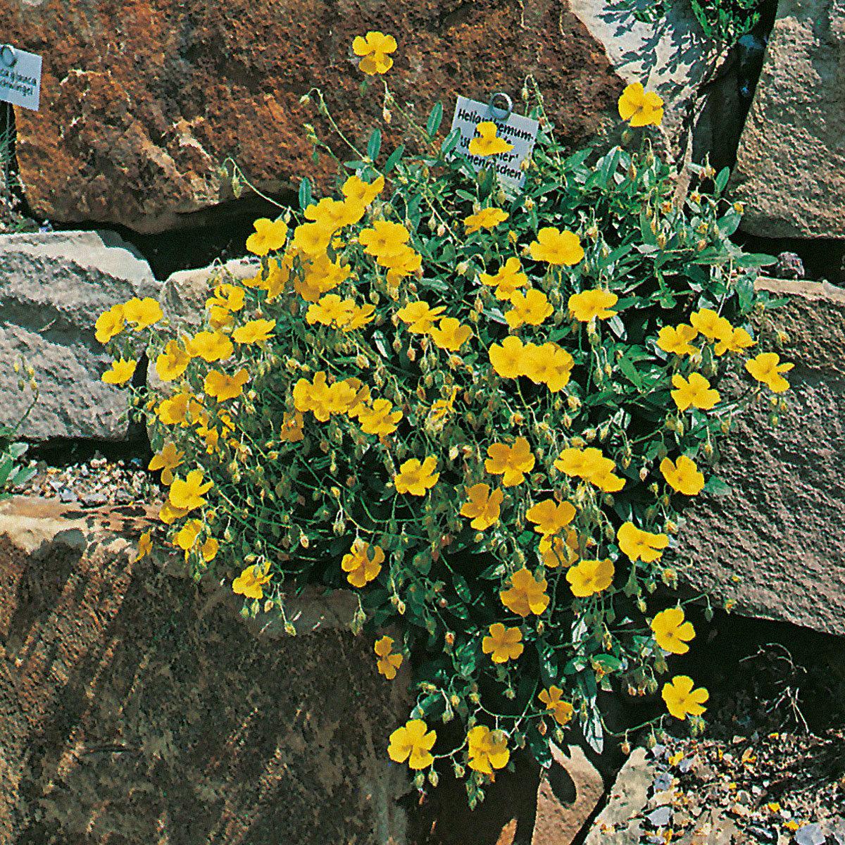 Gelbes Sonnenröschen Sterntaler, im ca. 9 cm-Topf
