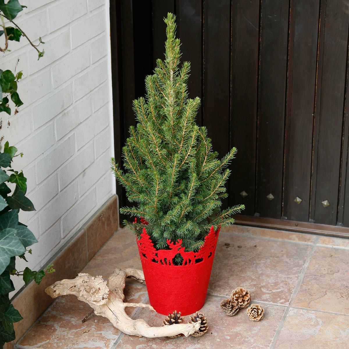 Zuckerhutfichte im weihnachtlichen Filztopf, groß
