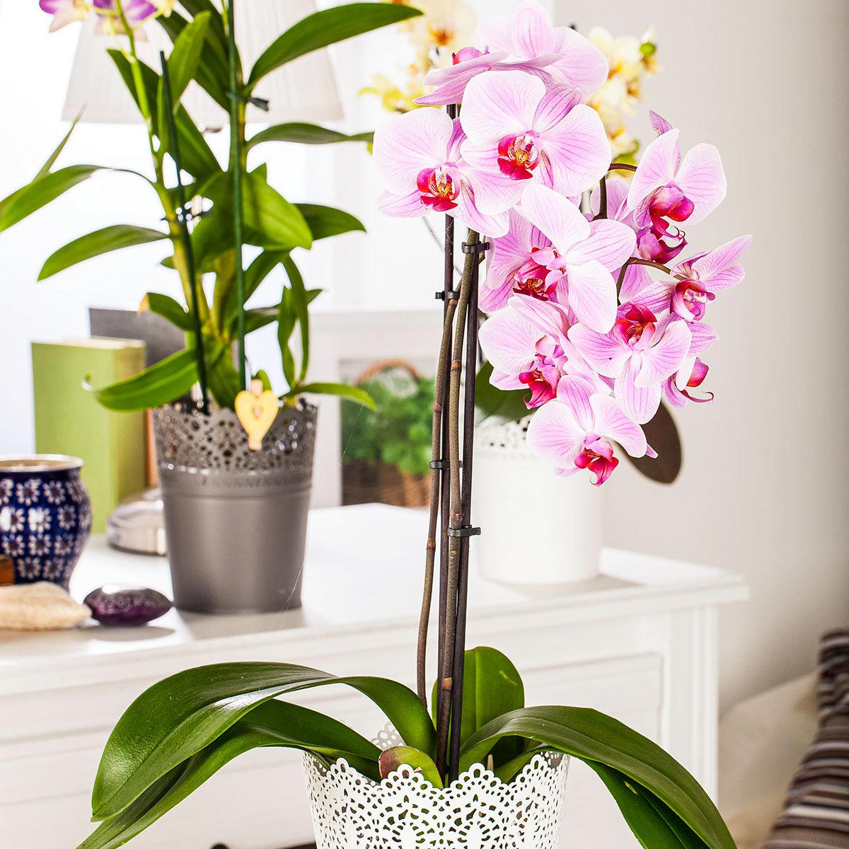 Rosa Schmetterlings-Orchidee, im ca. 12 cm-Topf