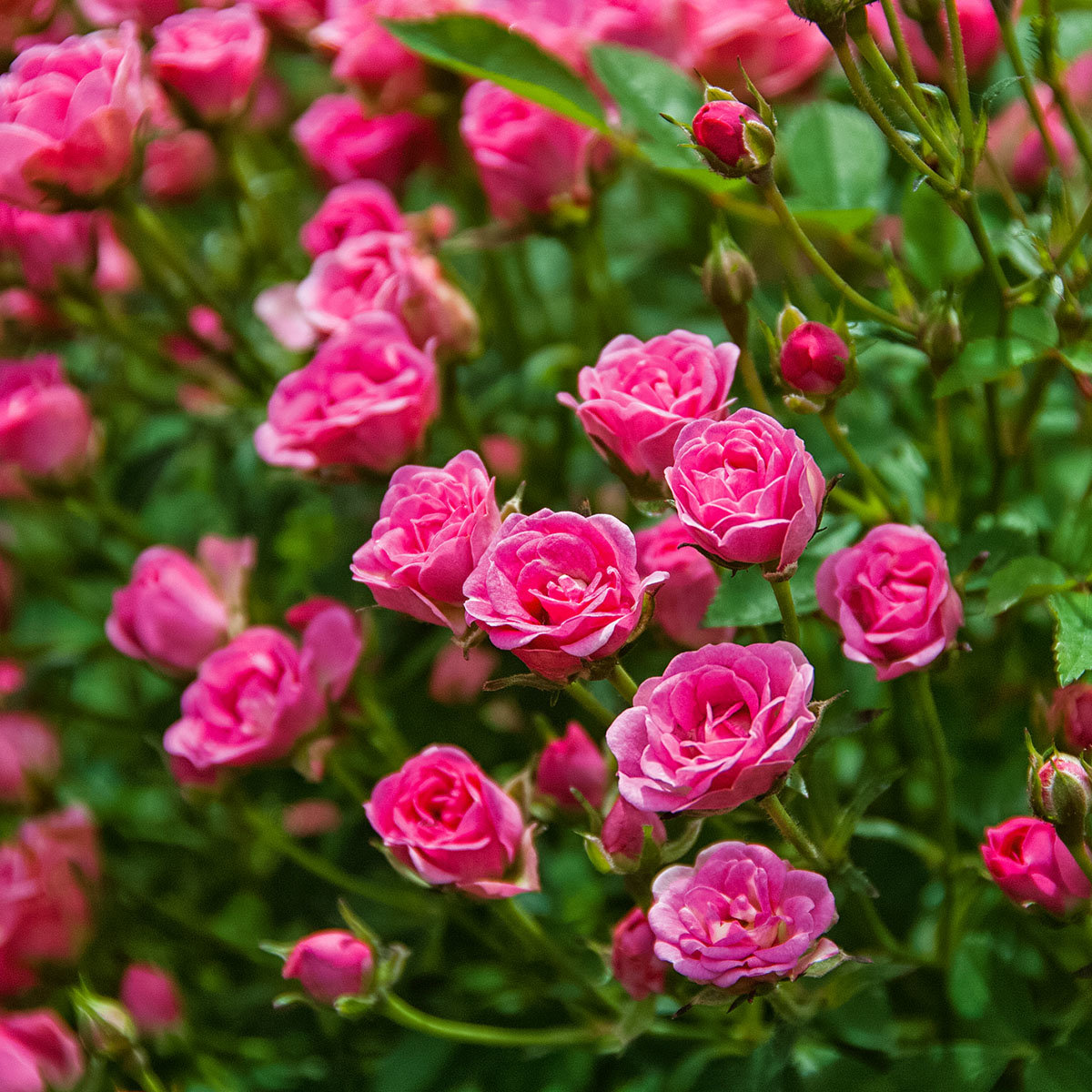 Mini-Rose Lilly Rose™, im ca. 12 cm-Topf