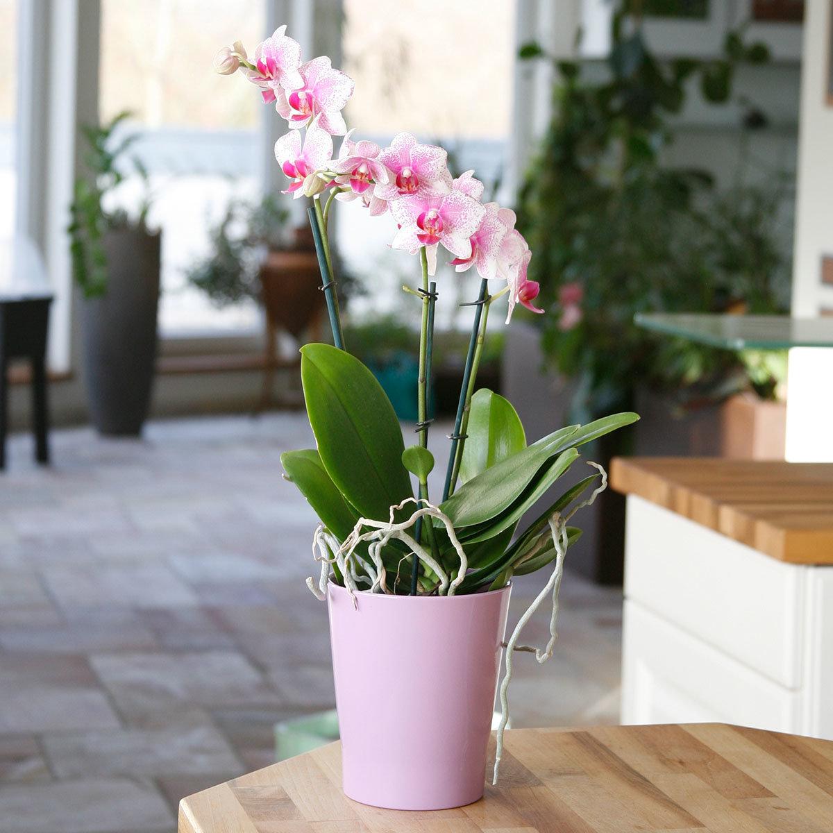 Schmetterlings-Orchidee Rotterdam, im ca. 12 cm-Topf