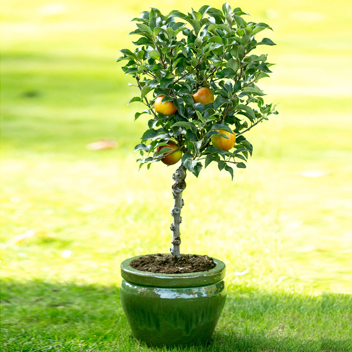 Zwergobst Apfel Delicado, im ca. 28 cm-Topf