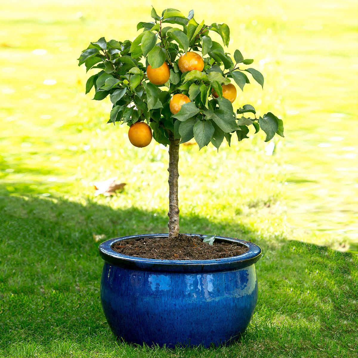 Zwergobst Aprikose Orange Beauty, im ca. 28 cm-Topf