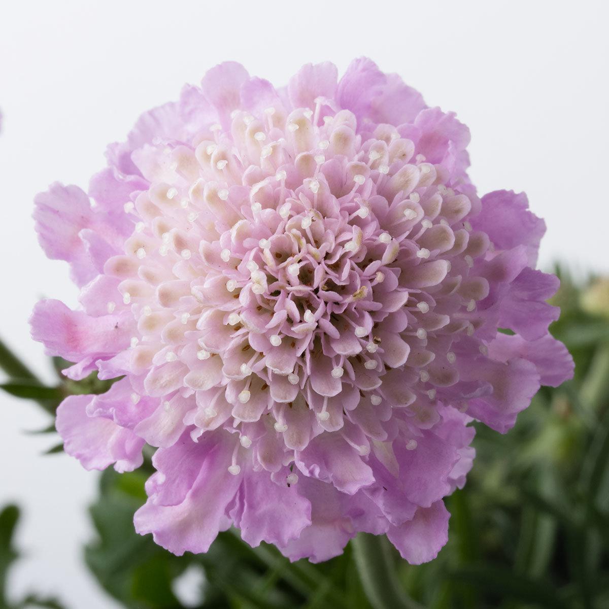 Scabiose Pink Mist, im ca. 9 cm-Topf