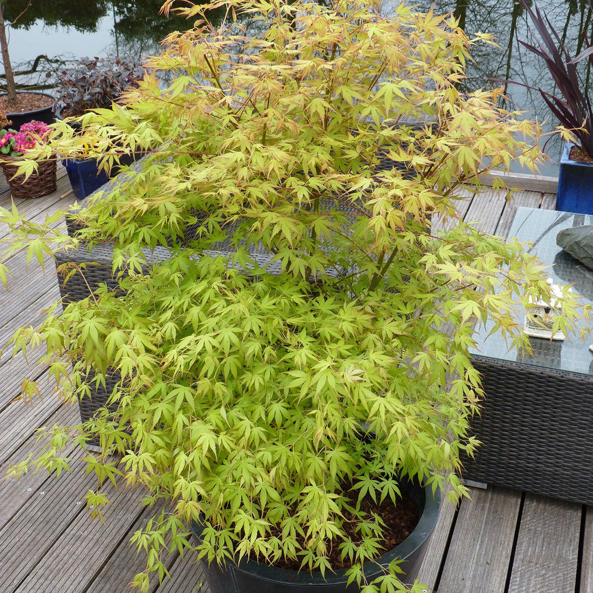 Fächerahorn Katsura, im ca. 19 cm-Topf