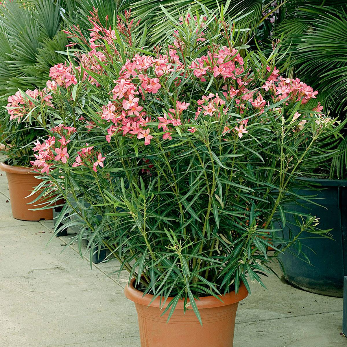 Großer Solitär-Oleander, rosa, im ca. 60 cm-Topf