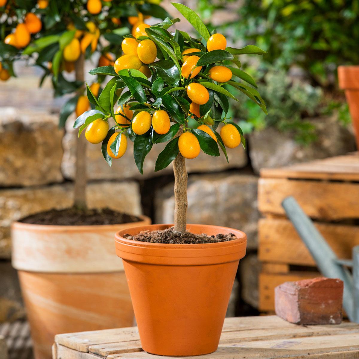 Zimmerpflanze Citrus Calamondin Stamm