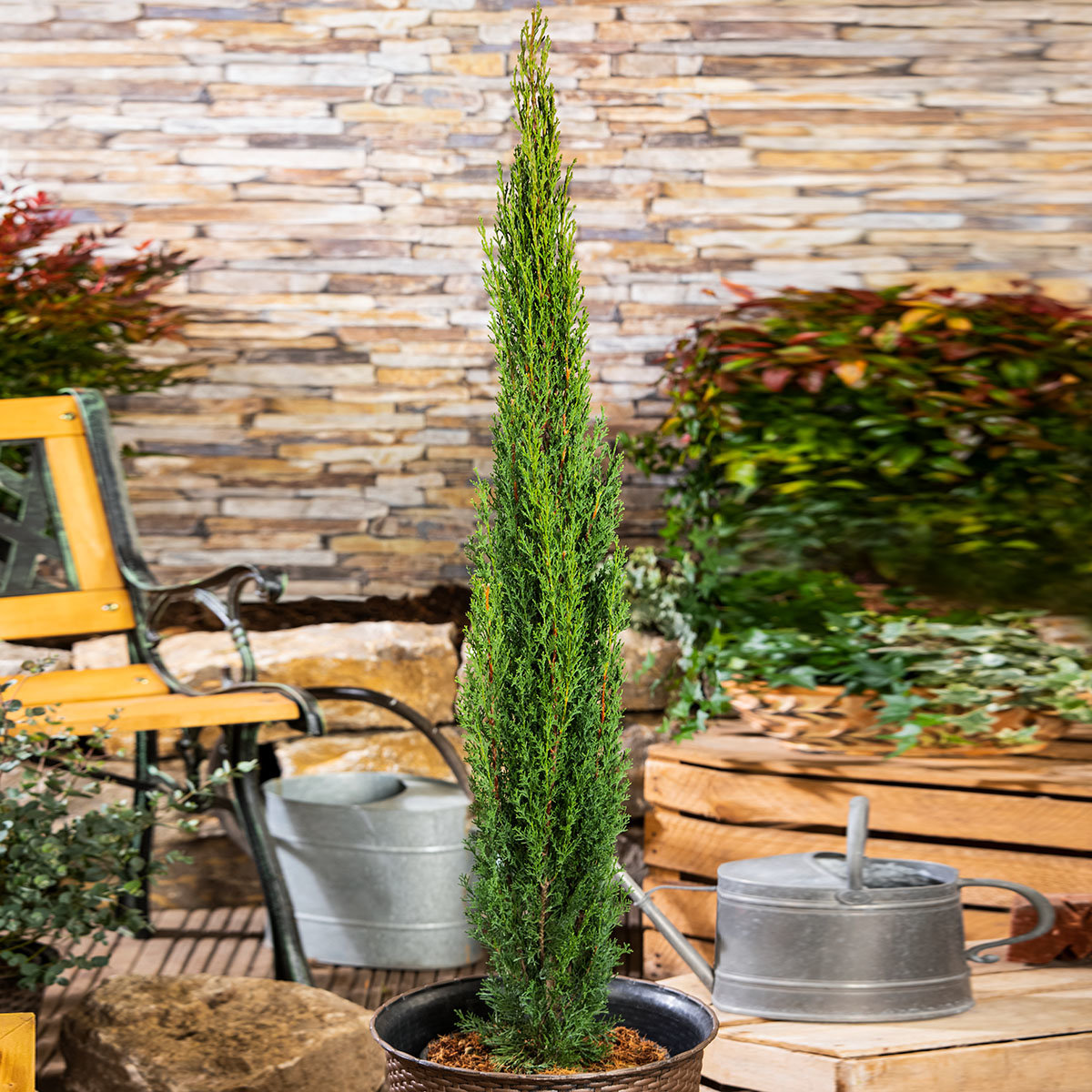 Mittelmeerzypresse, im ca. 26 cm-Topf