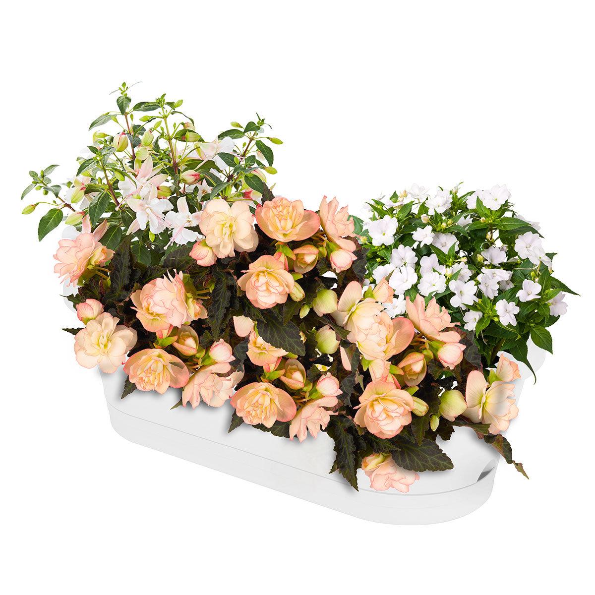 Sommerblumen-Set Elegante Schattenkünstler, im ca. 10,5/12 cm-Topf