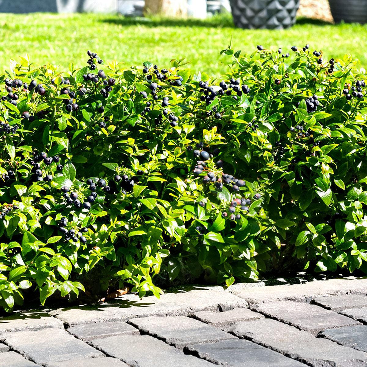 Heidelbeere BrazelBerry® Berry Bux® - Laufender Meter, 6 Pflanzen, im ca. 11 cm-Topf