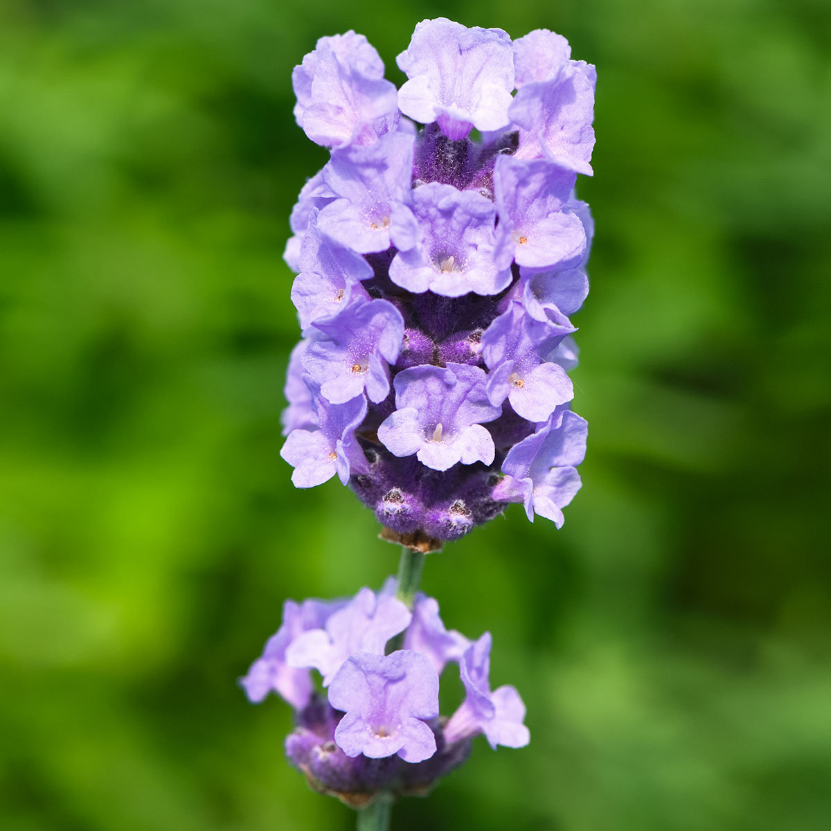 Englischer Lavendel Melissa Lilac, im ca. 13 cm-Topf
