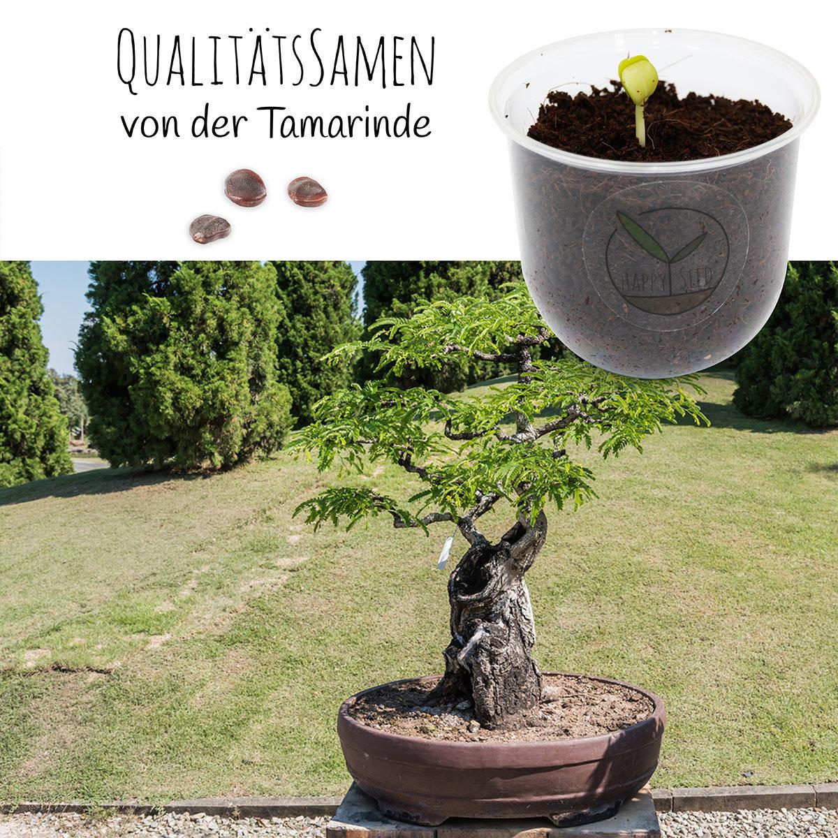 Bonsai Starter Kit Tamarinde Grow2Go