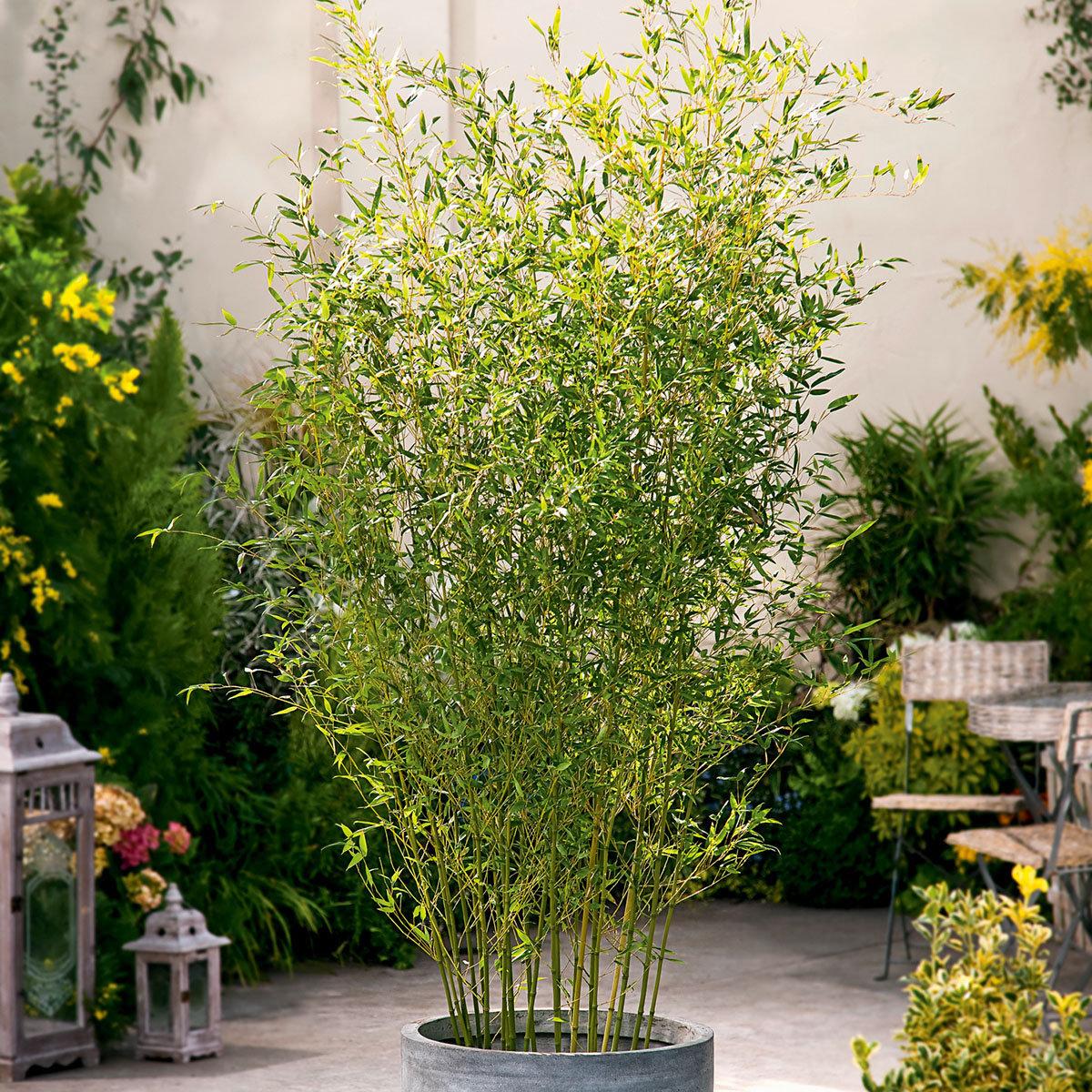 Bambus Bissetii, im ca. 23 cm-Topf