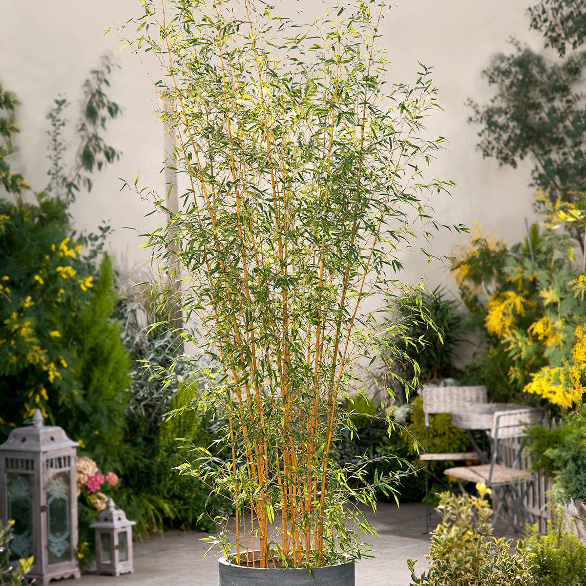 Bambus Aureocaulis, im ca. 28 cm-Topf