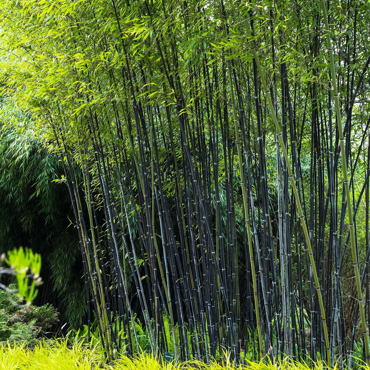 Schwarzer Bambus Im Ca 28 Cm Topf Online Kaufen Bei Gartner Potschke