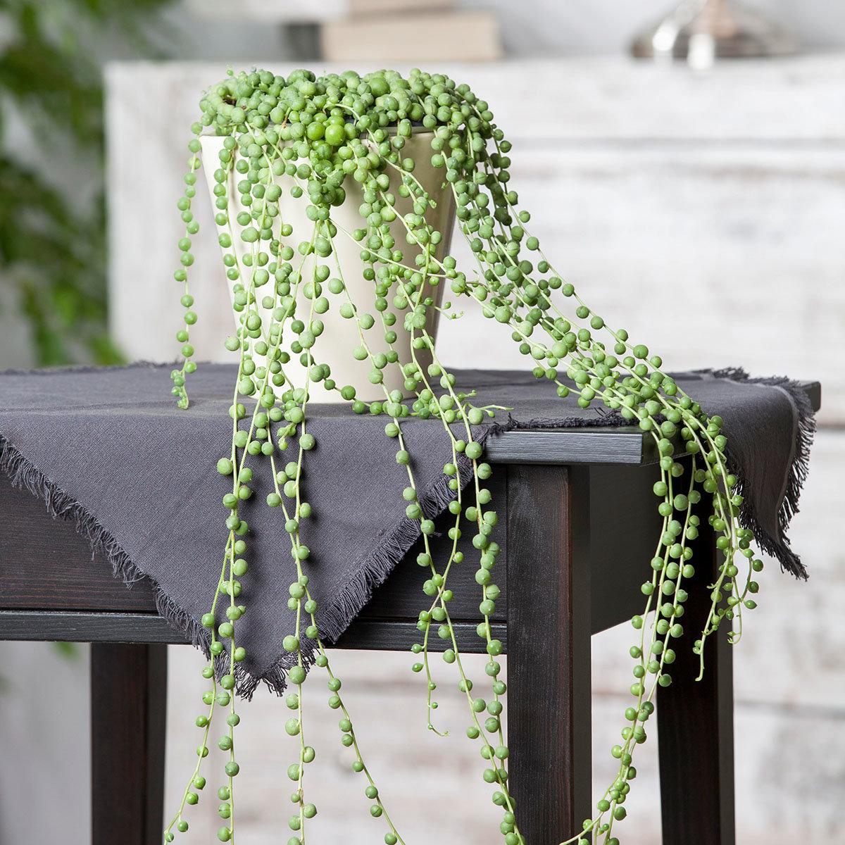 Erbsenpflanze, Ampel, im ca. 12 cm-Topf