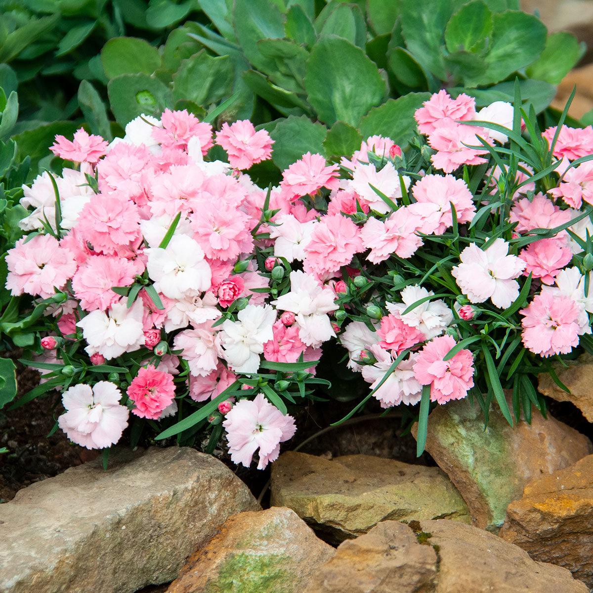 Federnelke, rosa-weiß, im ca. 9 cm-Topf