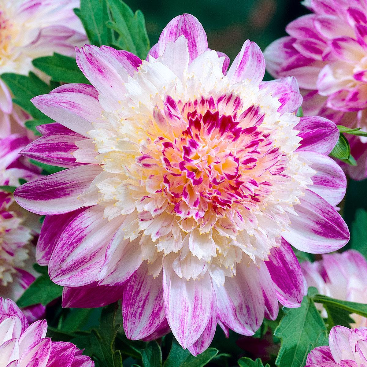 Anemonenblütige Dahlie Que Sera