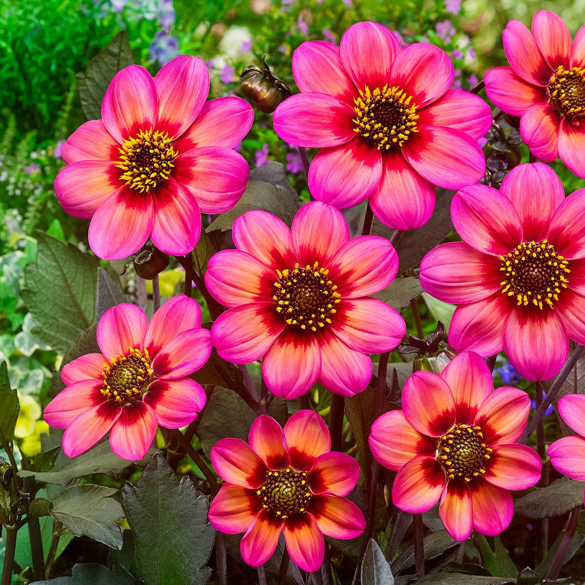 Dahlie Dahlegria Tri-Colore
