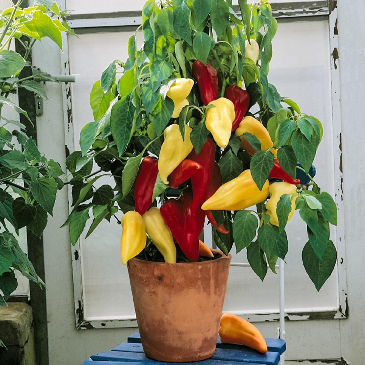 Ungarische Spitzpaprikapflanze Joker, veredelt, im ca. 11 cm-Topf