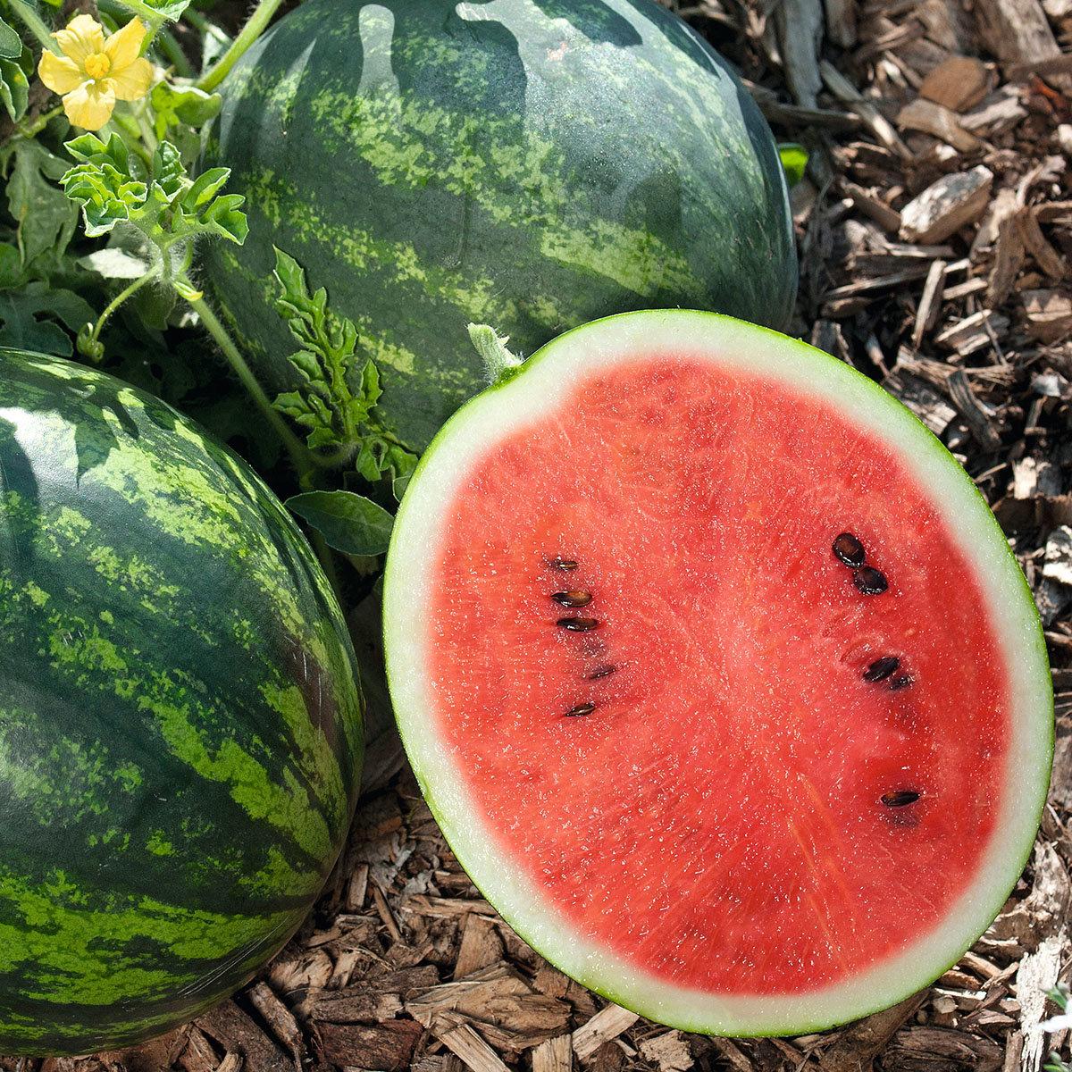 Mini-Wassermelonenpflanze Mini Love, veredelt, im ca. 12 cm-Topf