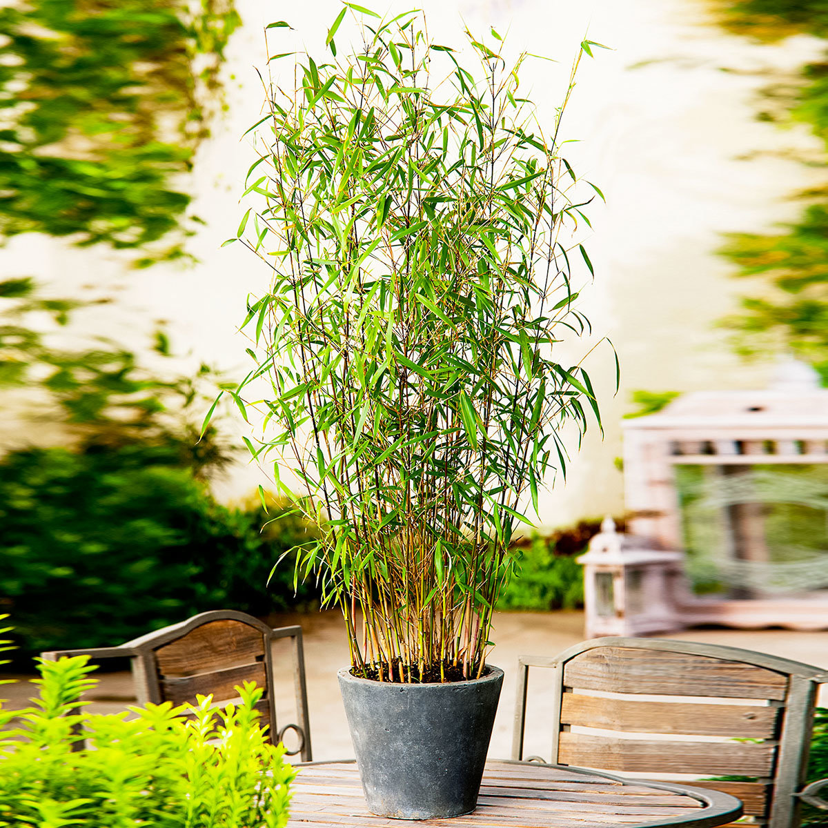 Bambus Asian Wonder, im ca. 23 cm-Topf