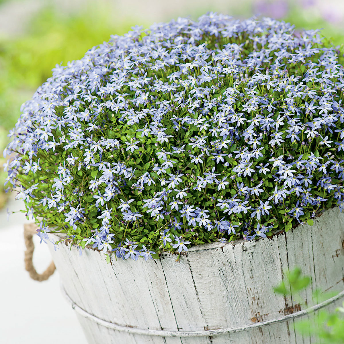 Blütenteppich Blaues Wunder