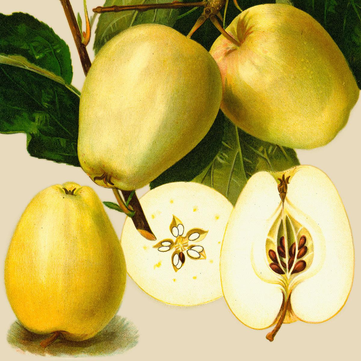 Apfel Weißer Winterglocken, im ca. 28 cm-Topf