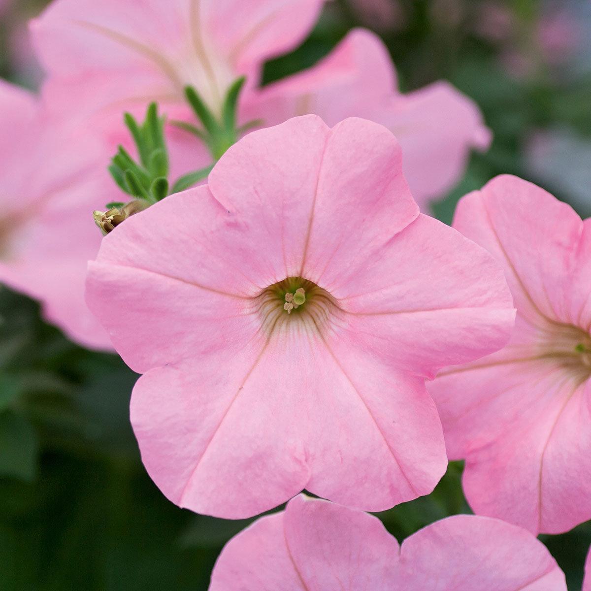 Riesenhängepetunie AlpeTunia® Soft Pink, im ca. 12 cm-Topf