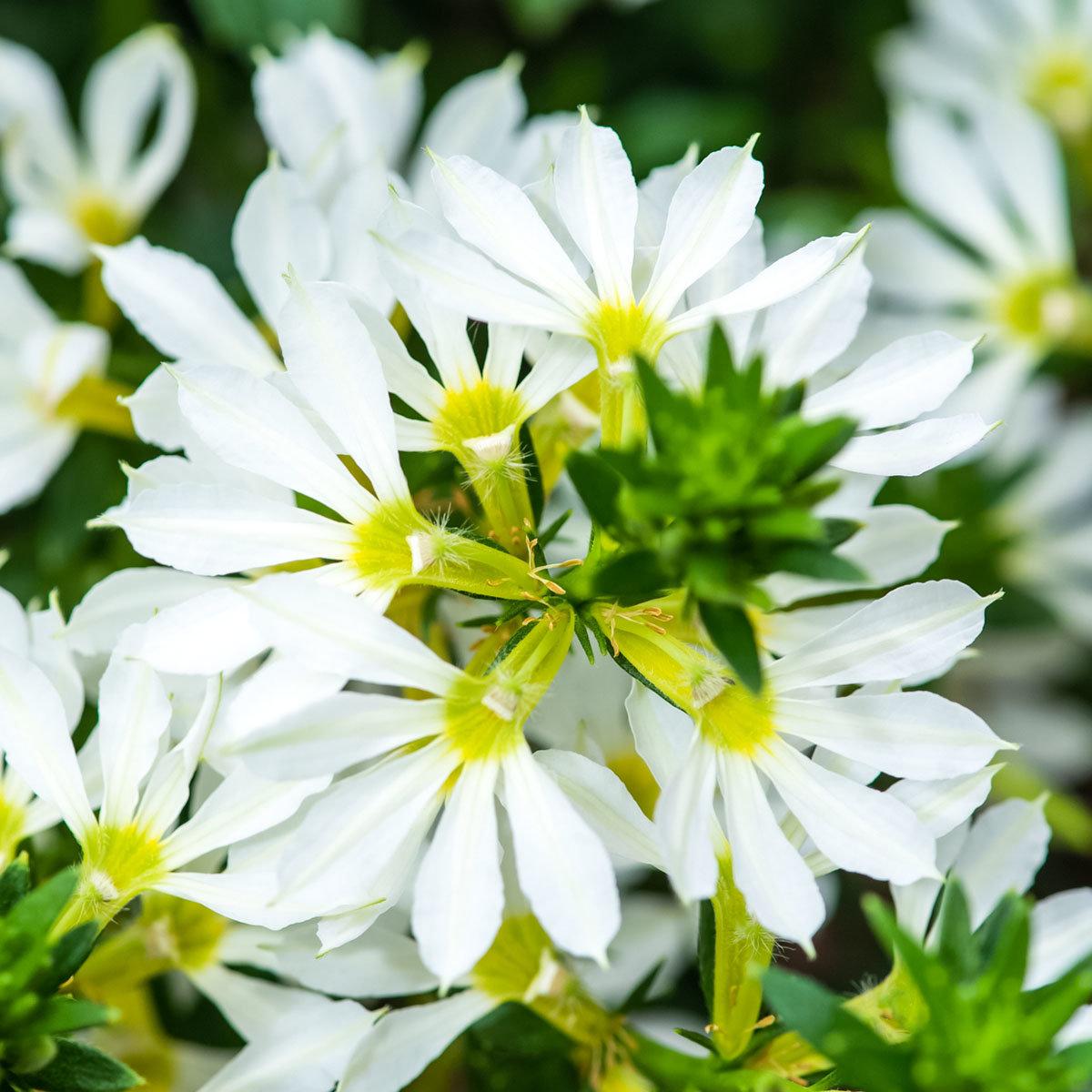 Weiße Fächerblume, im ca. 11 cm-Topf