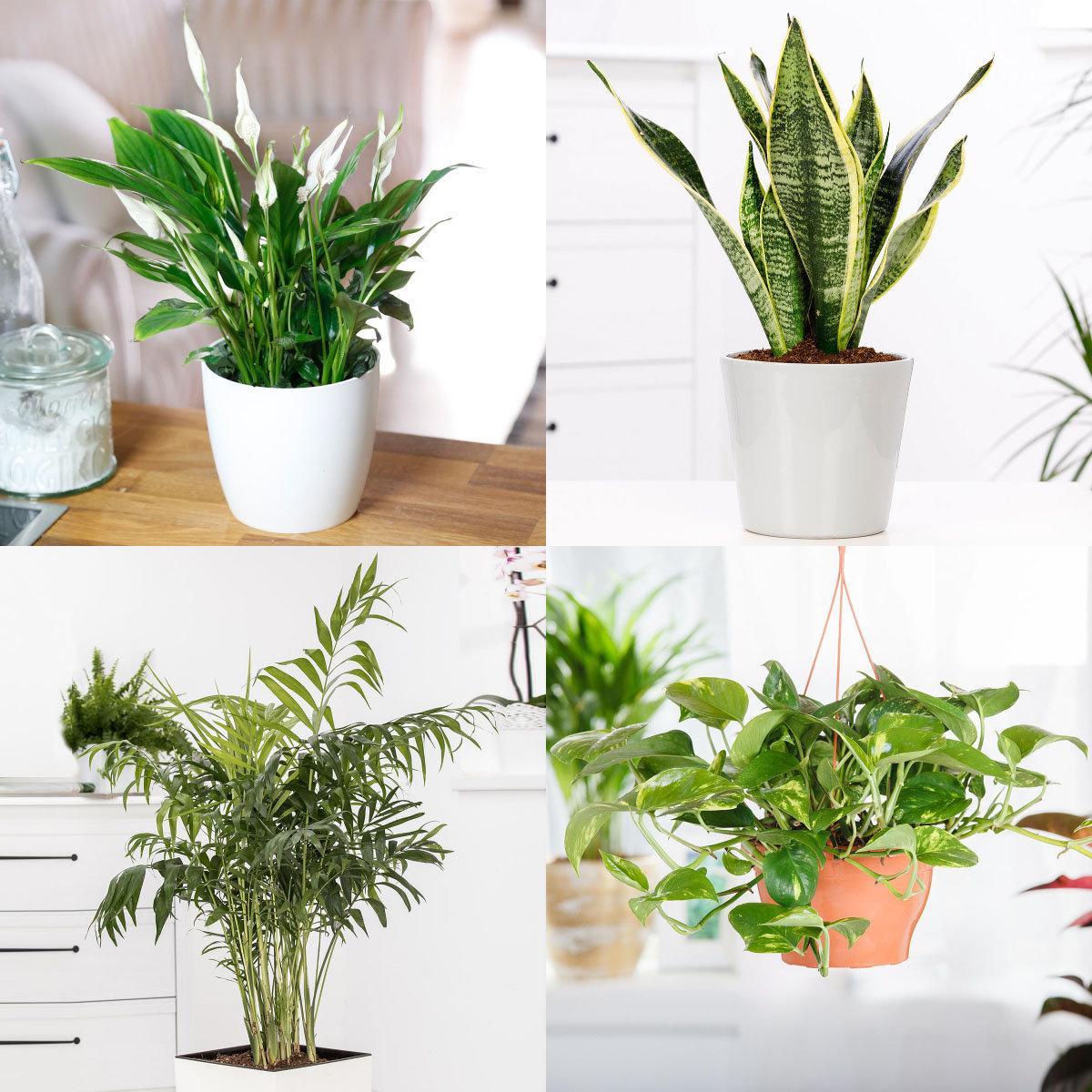 Zimmerpflanzen-Set Luftreiniger