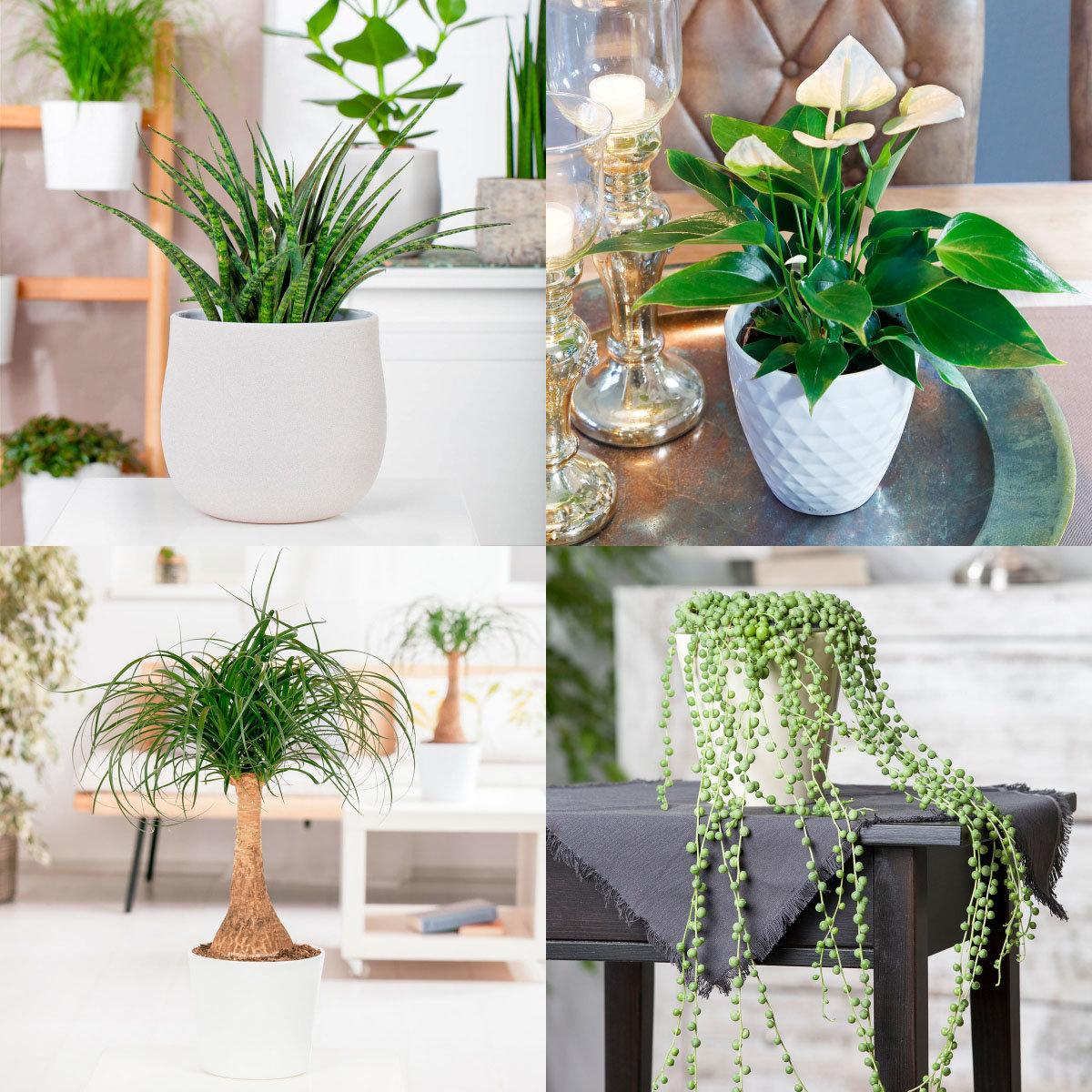 Zimmerpflanzen-Set Robust & Trendig