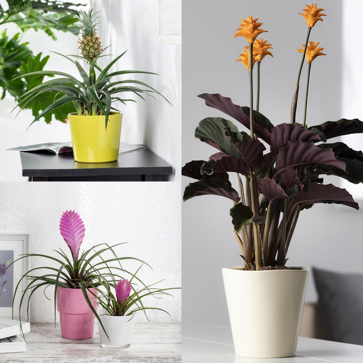 Zimmerpflanzen-Set Exoten