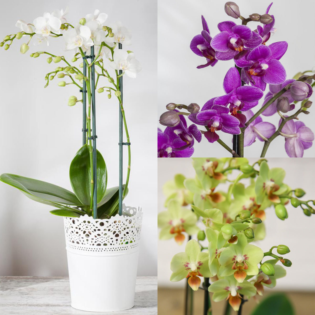 Zimmerpflanzen-Sortiment Orchideenzauber
