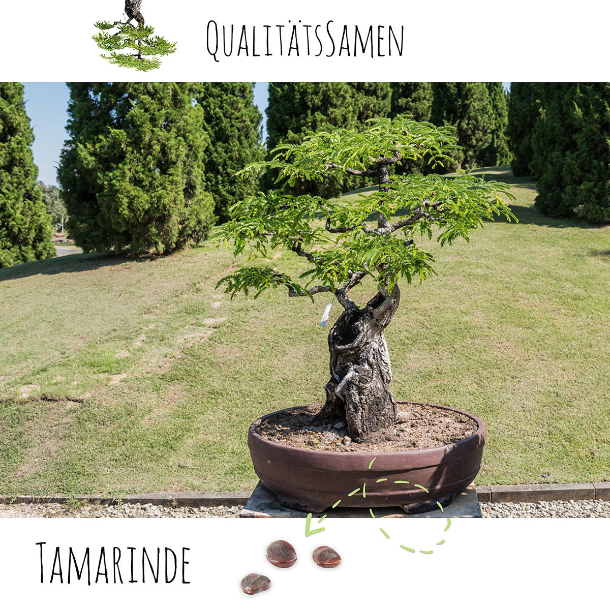 Bonsai Samen Tamarinde