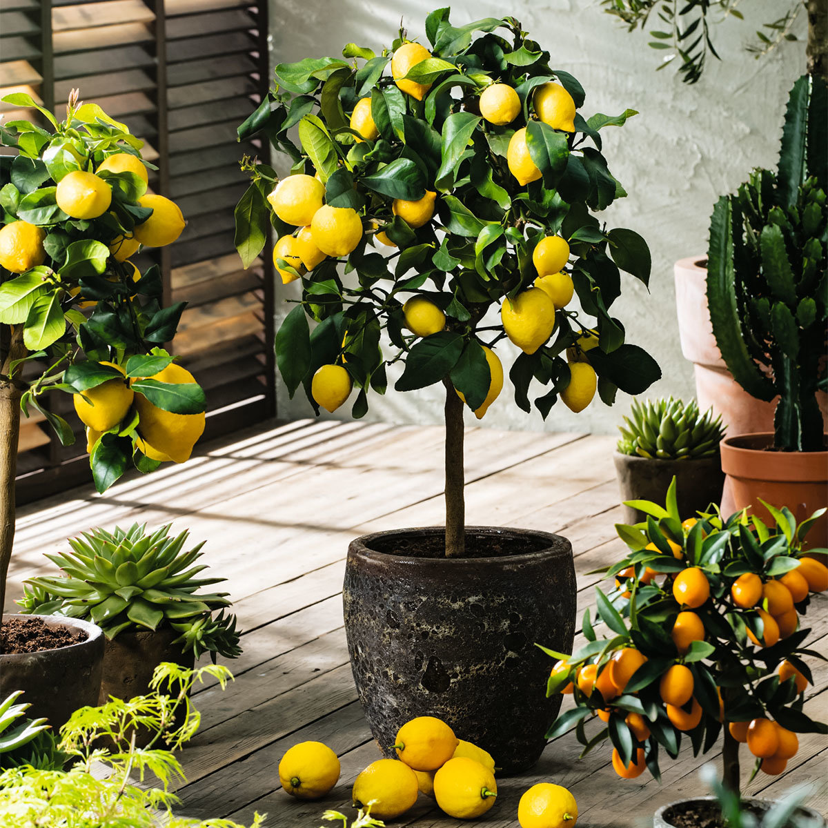 Zitronen-Stamm, im ca. 17 cm-Topf